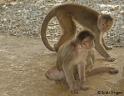 קופיפים